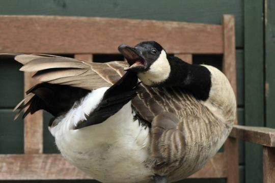 the goose.jpg
