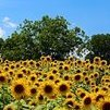 Sunflowerite
